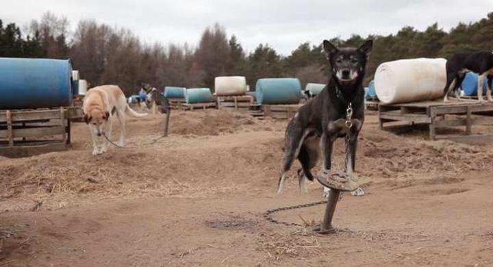 Perro encadenado en verano