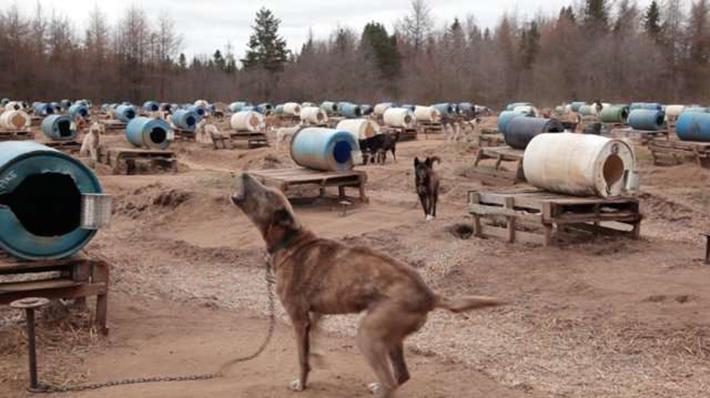 Perros de trineo encadenados