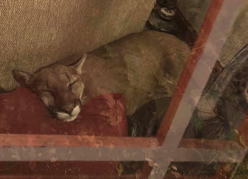 Puma duerme