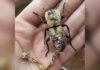 Usan escarabajos vivos como amuletos