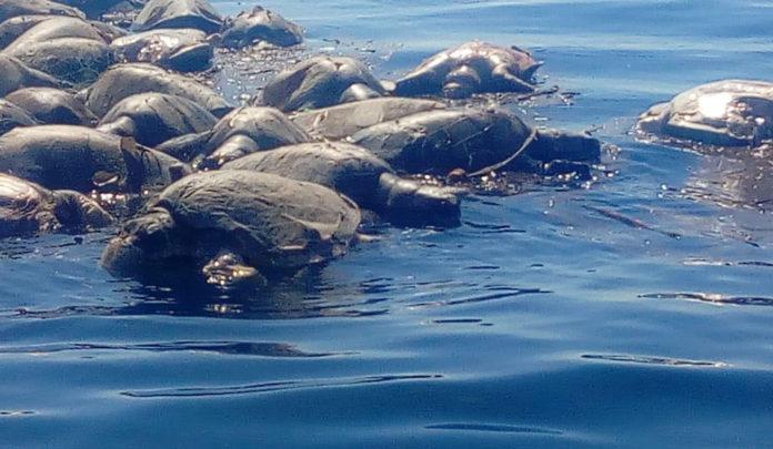 300 tortugas en peligro de extinción son encontradas muertas