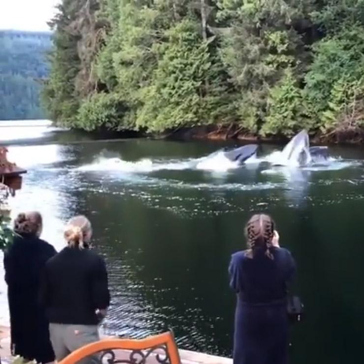 Ballenas jorobadas aparecen cerca a muelle