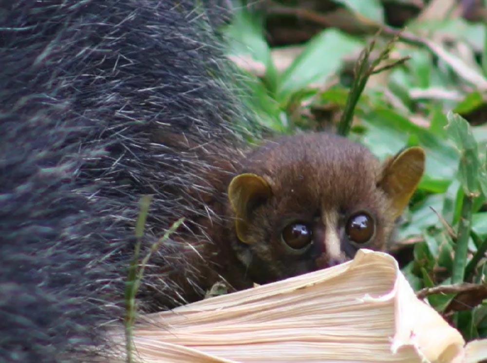 Bebé primate
