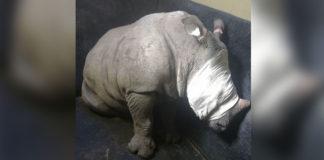 Bebé rinoceronte llora por haber perdido a su madre