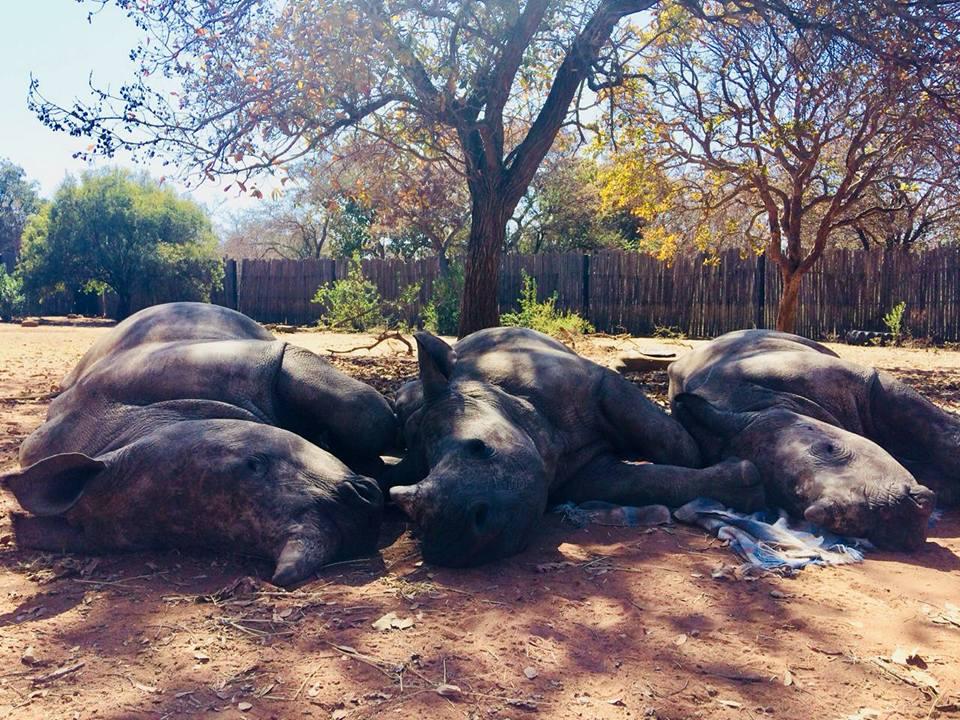 Davi y otros rinocerontes