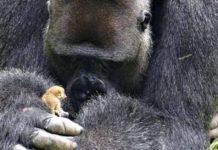 Este gentil gorila cuida amorosamente de un primate bebé