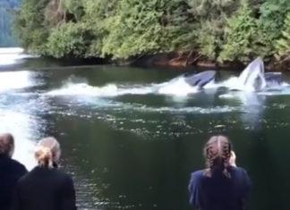 Grupo de ballenas jorobadas aparecen en el muelle