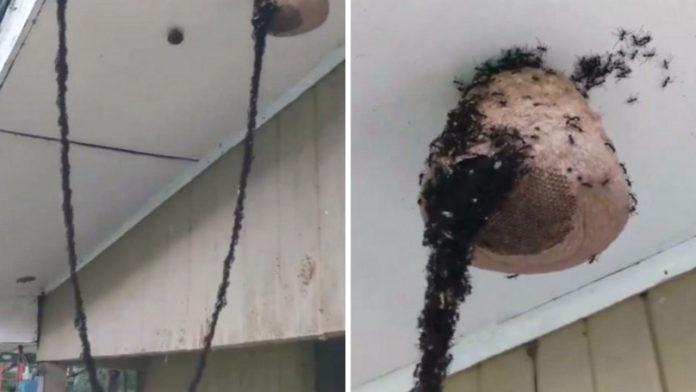 Hormigas construyen puente para invadir nido de avispas