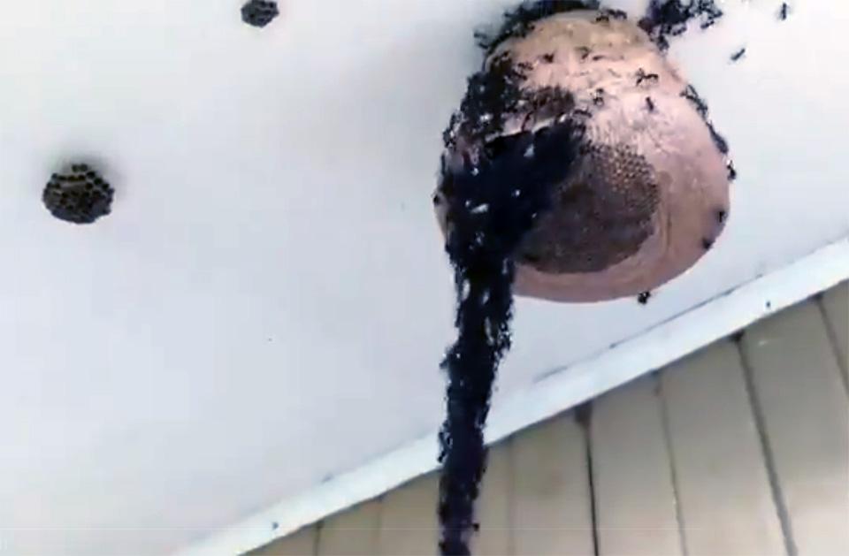 Hormigas en nido de avispas