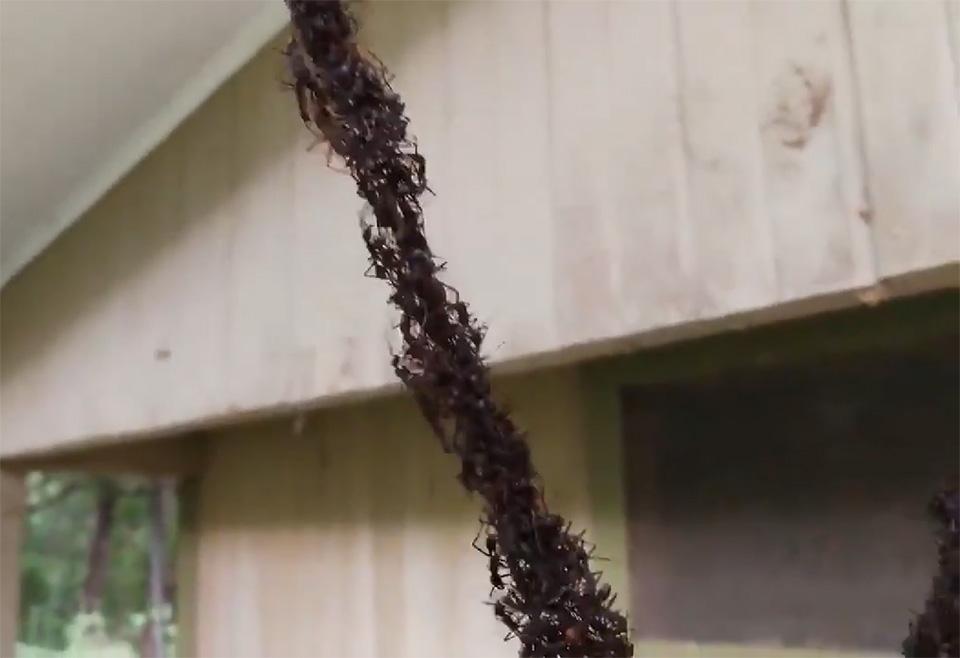 Hormigas hacen puente para robar nido