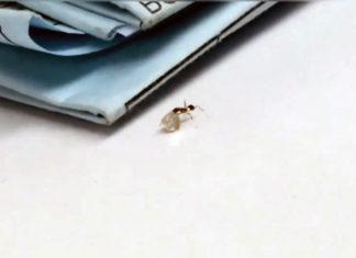 Pequeña hormiga roba diamantes preciosos de joyería