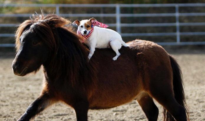 Perrita monta caballo miniatura