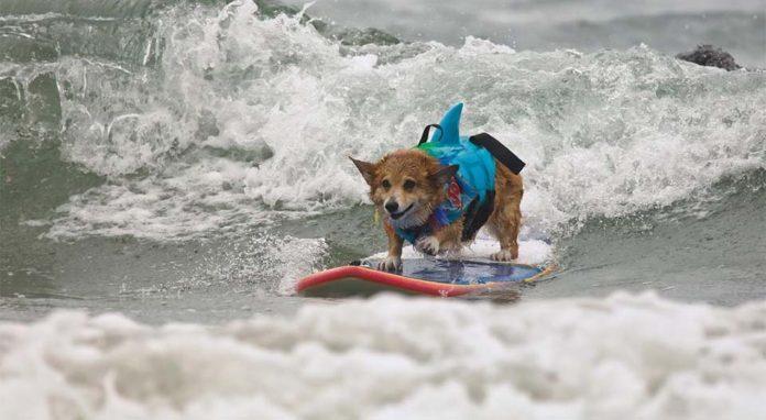Perro surfea como terapia después de un terrible ataque