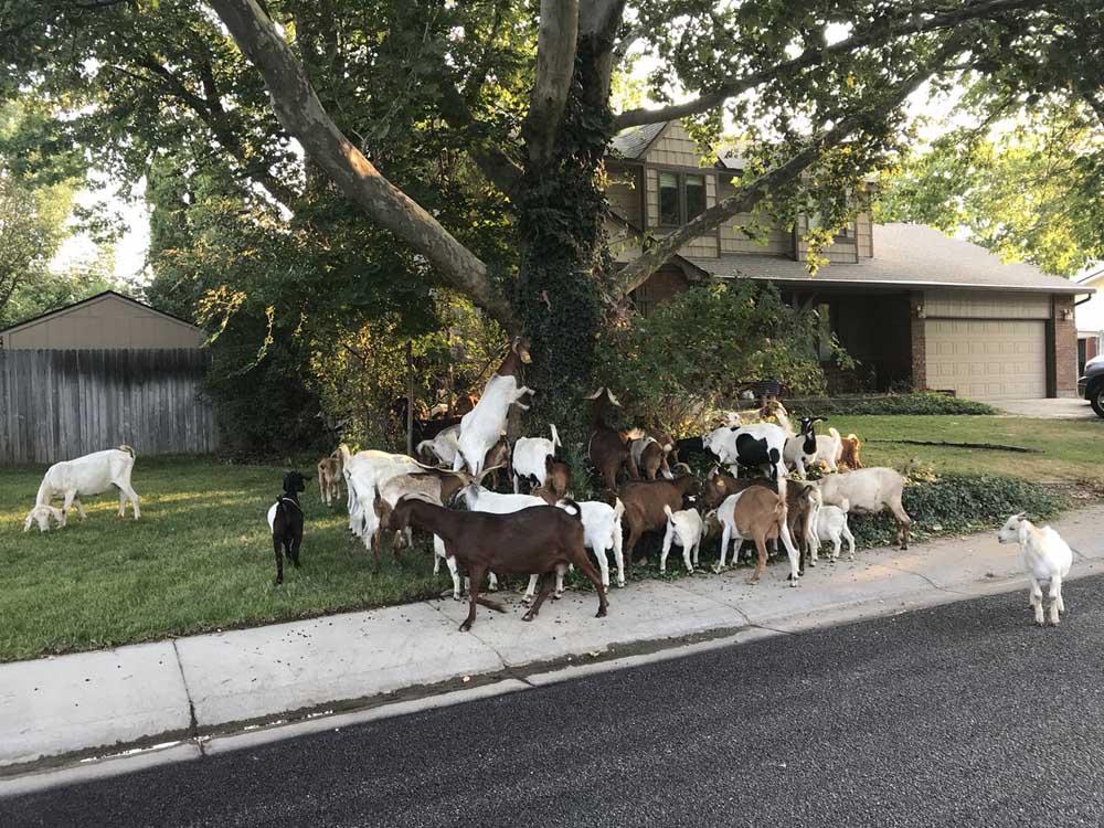 Rebaño de cabras escapa