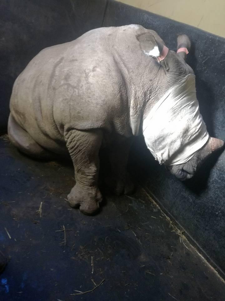 Rinoceronte vendado