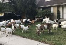 Un rebaño de cabras hambientas invadió un barrio de Boise, Idaho