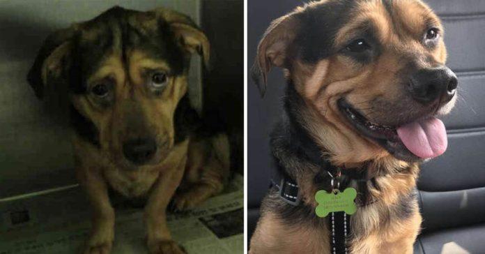 Una pareja viajó durante 6 horas para adoptar a un perro triste de un refugio