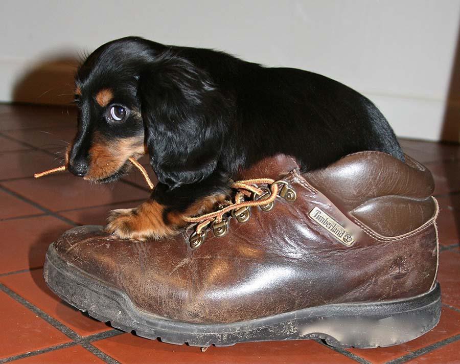 Perro jugando con zapato