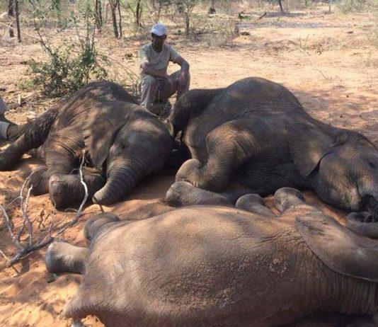Cerca de 90 elefantes fueron asesinados por sus colmillos