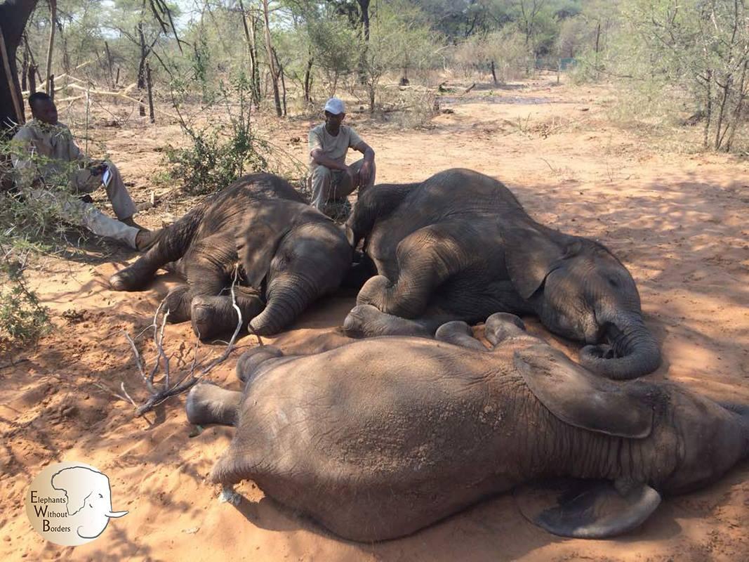 Elefantes asesinados