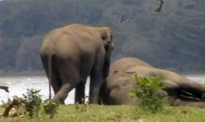Elefantes se despiden de su líder