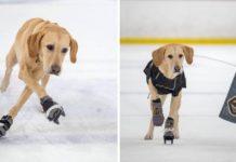 Este perrito ama patinar sobre hielo y trata de captar la atención de la NHL