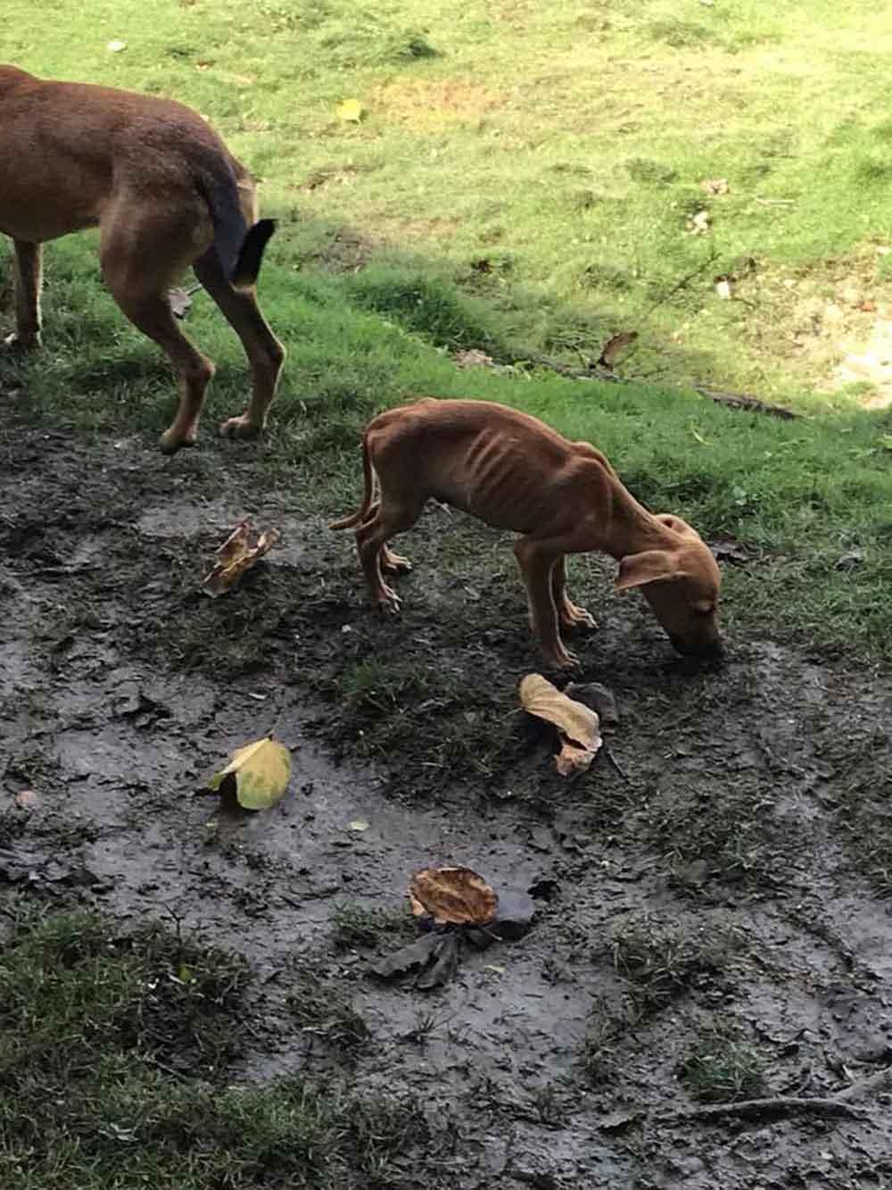Perro desnutrido