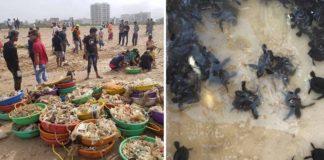 Tortugas marinas regresan a una playa de la India después de 20 años