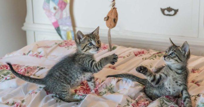 Es muy importante jugar con tu gato