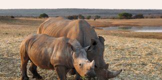 China legaliza el uso de huesos de tigre y cuernos de rinoceronte