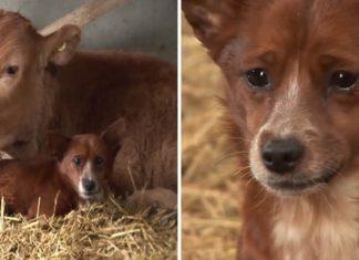 Perrito llora de tristeza al separarse de la vaca que lo crió