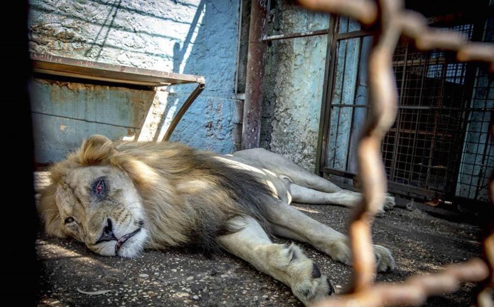 León desnutrido