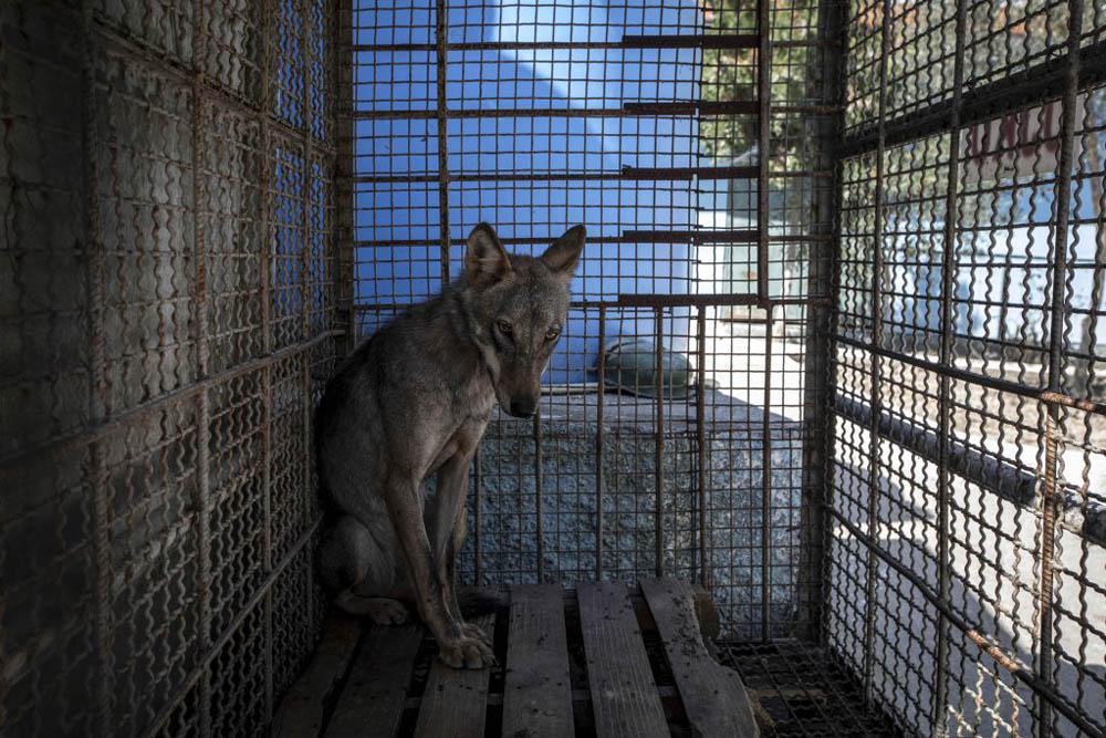 Lobo enjaulado