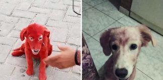 Perrita que fue teñida de rojo fue rescatada después de ser comprada