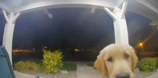 Perro escapa de casa y luego toca el timbre