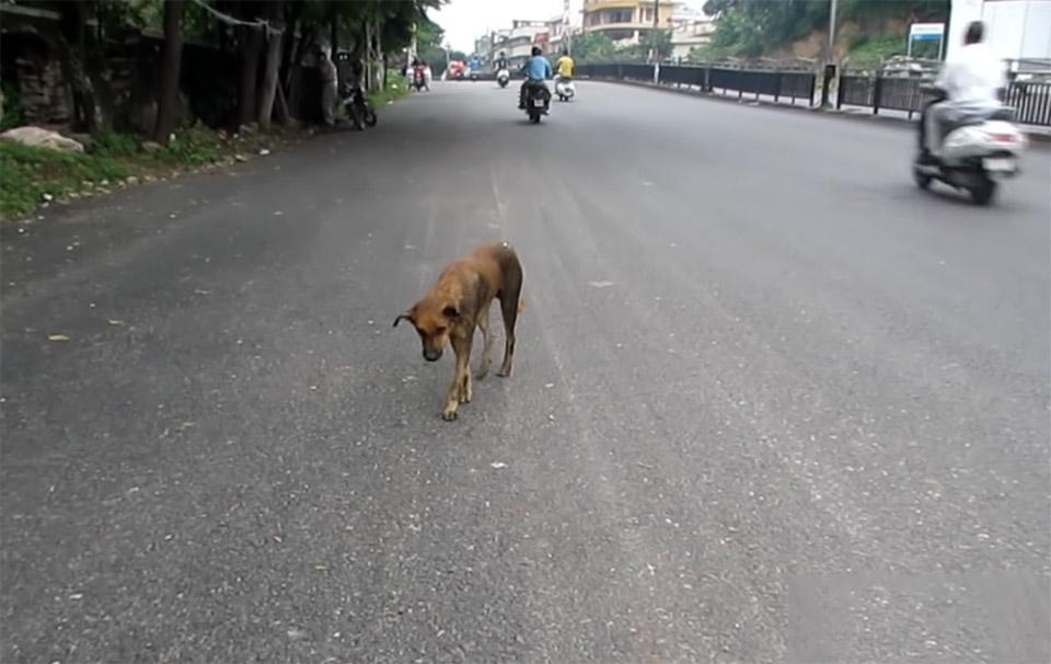 Perro herido se tambaleaba a traves del trafico es rescatado