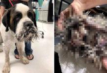 Perro queda con su cara llena de púas tras toparse con un puercoespín