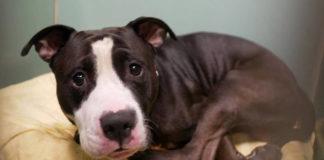 Pit bull fue abandonado en un refugio por la llegada de un bebé