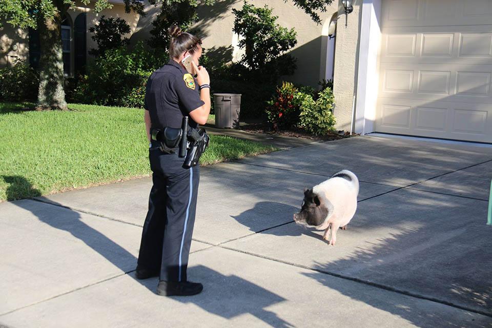 Policía y cerdo perdido