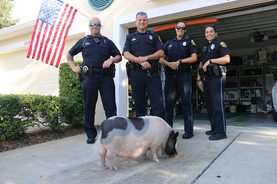 Policías y el cerdo perdido