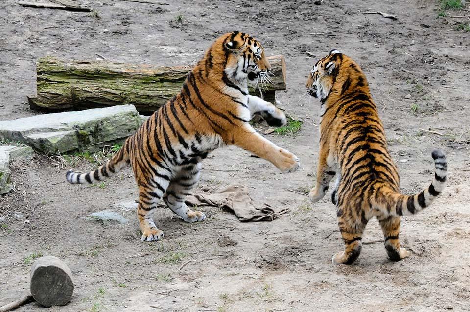 Tigres jugando