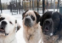 Trío de perros de raza San Bernardo en un refugio necesitan ser adoptados juntos