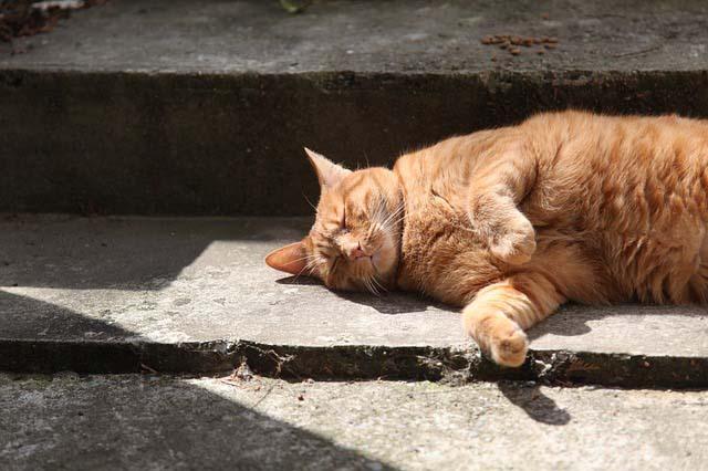 Un gato con sobrepeso tiene más riesgo de padecer artritis felina