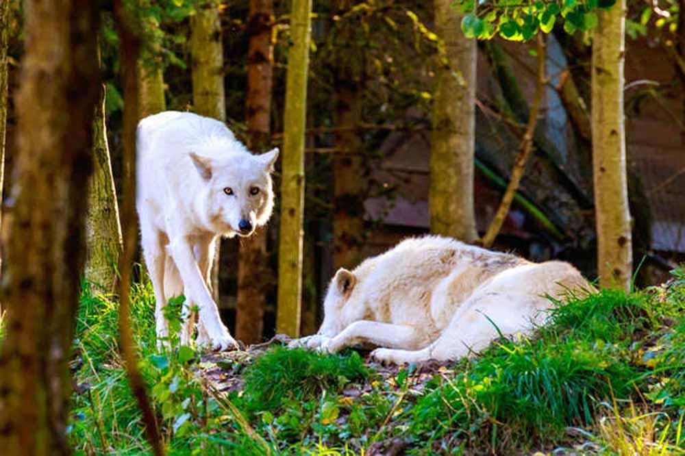Autorizan asesinar lobos