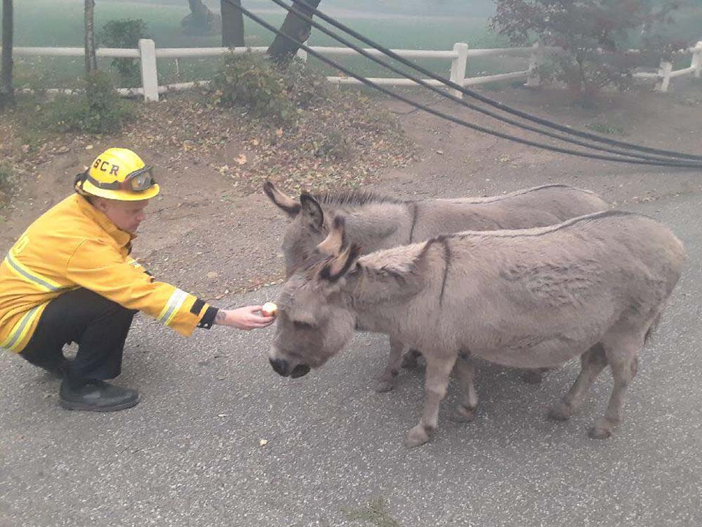Burros afectados por incendios en california