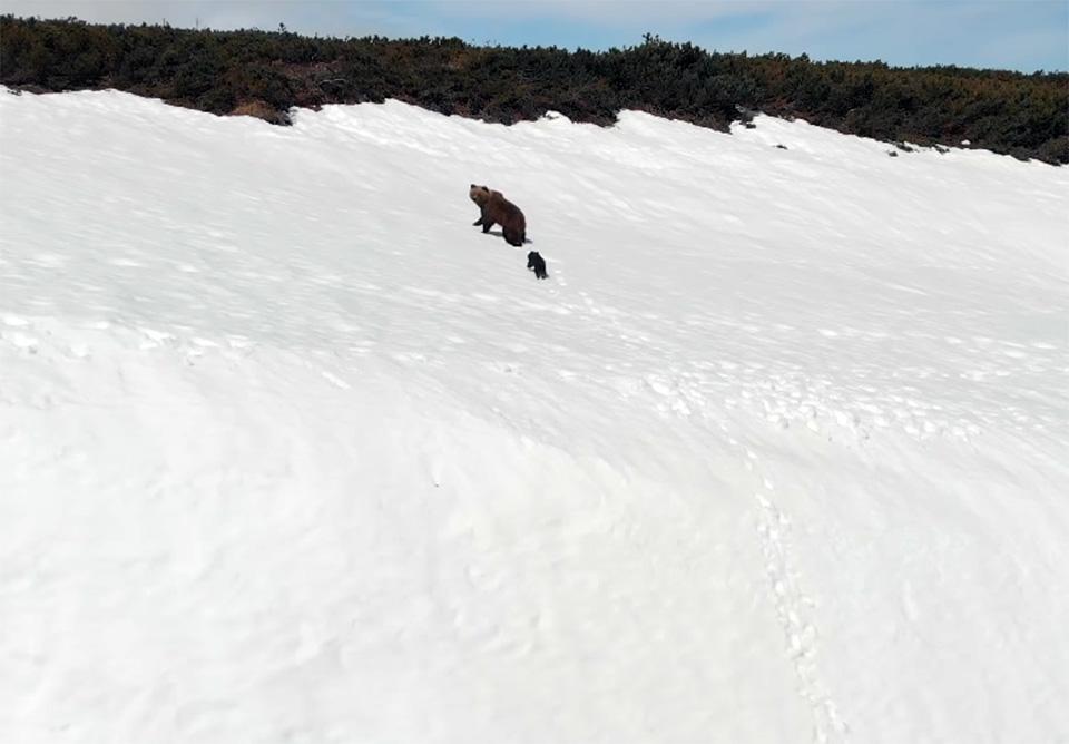 Dos osos huyen de dron