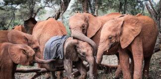 Elefantes huérfanos consuelan a bebe que perdió a su madre