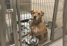 Familia promete recoger a su pitbull perdido en el refugio pero lo abandonan