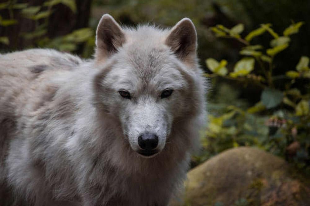 Lobo en peligro de extinción