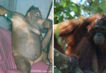 Orangután fue obligada a trabajar como esclava sexual en un burdel